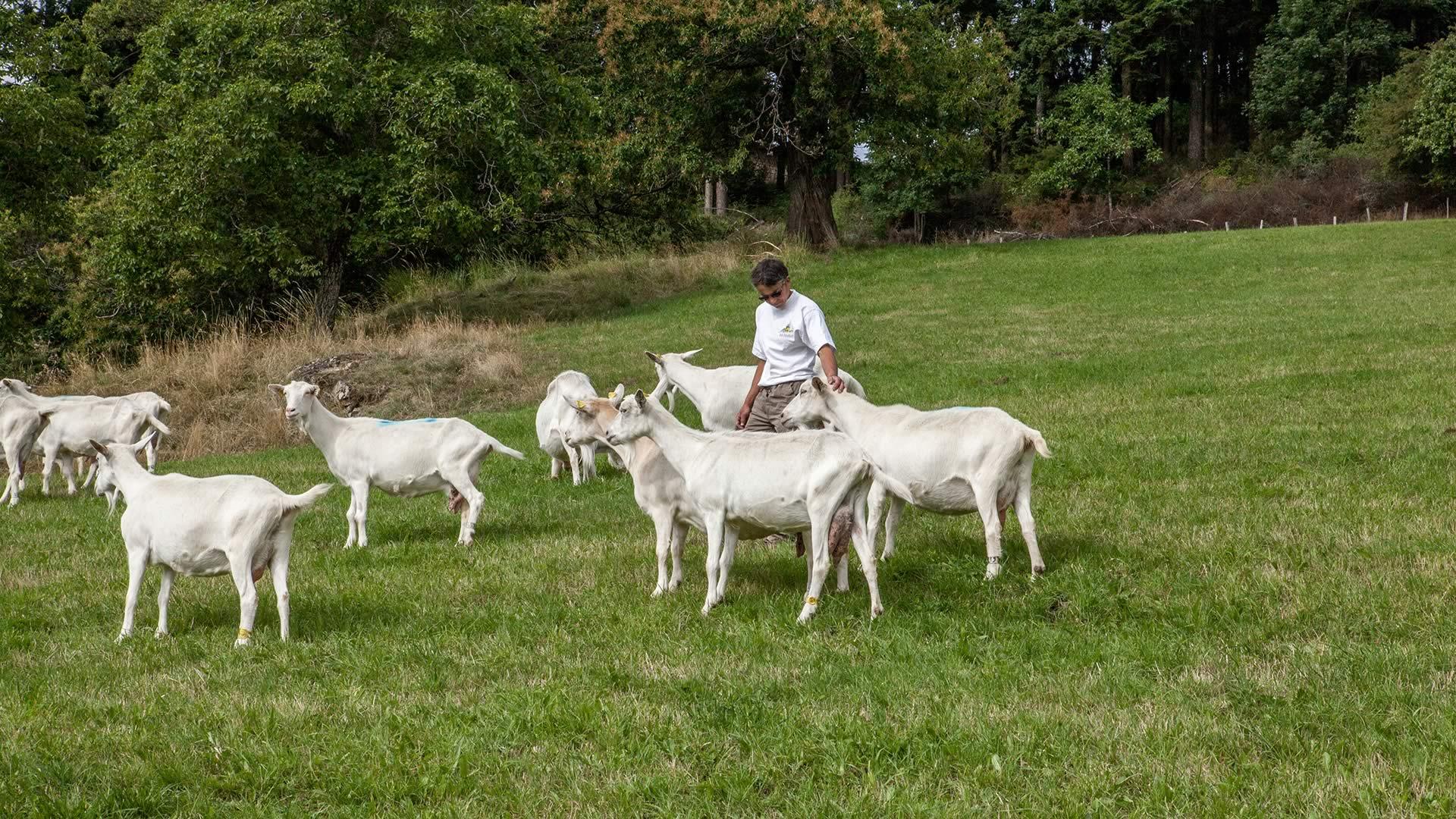 Picodon AOP-fromage de chèvre-paturage-Drôme Ardèche