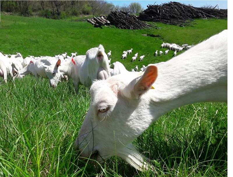 Appellation d'Origine Protégée - Picodon - AOP - Drôme - Baratons France - Fromage - chèvre