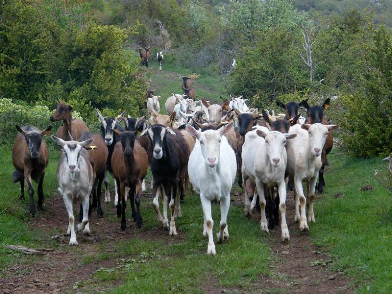Appellation d'Origine Protégée - Picodon - AOP -Caprovine - Ardèche - France - Fromage - chèvre